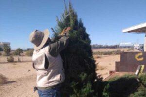 México regresa a EU más de cuatro mil pinos con plaga