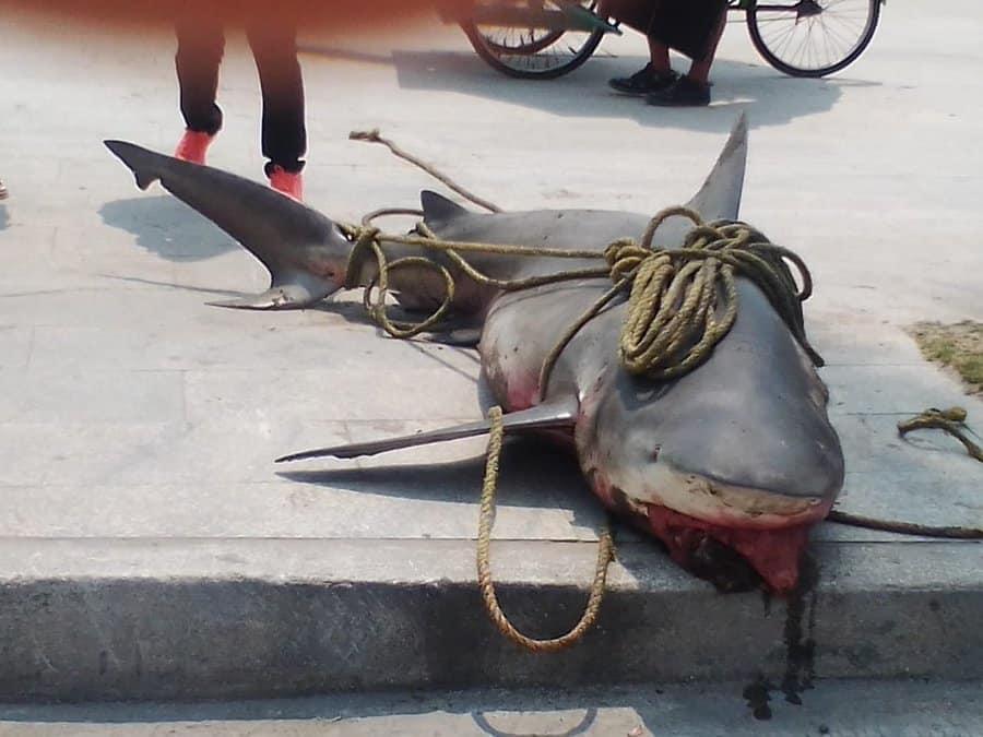 Van por pescadores que capturaron a Tiburón Toro en Playa Villa del Mar.