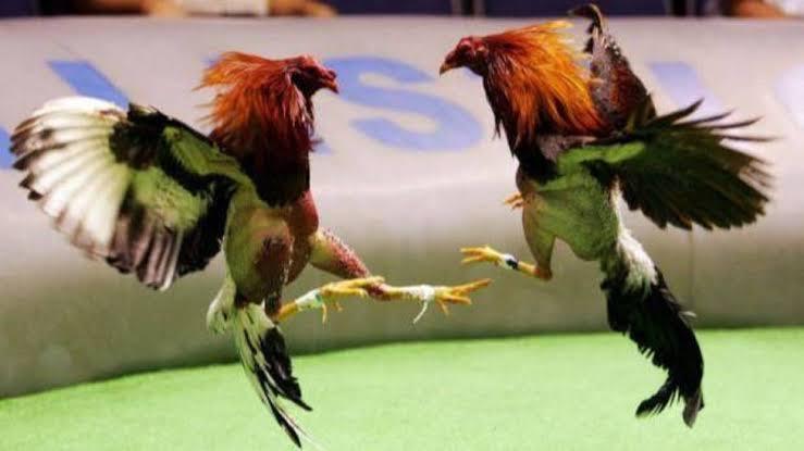 Quieren reactivar peleas de gallos y embalse de toros en Veracruz