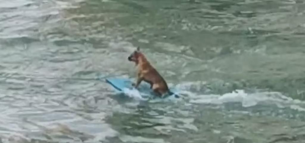 Graban a Perro Surfista en Alvarado (Video)