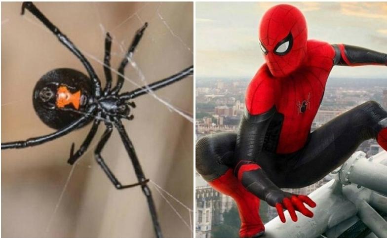 """Niño se deja picar por viuda negra para ser el """"hombre araña""""."""