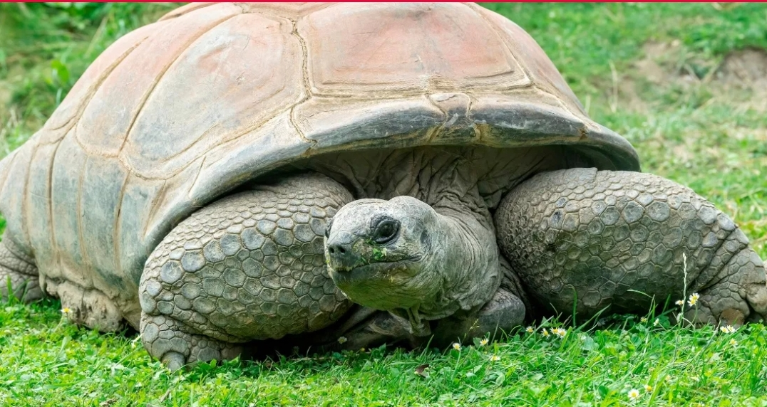 La tortuga Schurli murió, era el animal más longevo en el zoológico de Viena